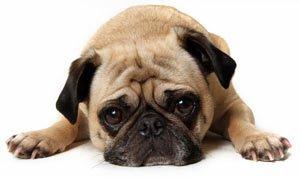 Dog Appeasing Pheromone Collar