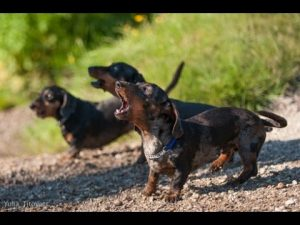 Simple and Effective Dog Training for a Miniature Dachshund