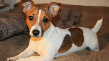 Jack Russell Puppy Training to Stop Chewing and Bad Behaviour 2