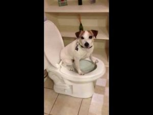 Jack Russell Puppy Training to Stop Chewing and Bad Behaviour