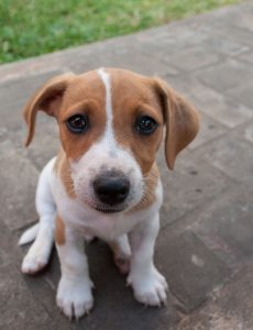 Jack Russell Puppy Training to Stop Chewing and Bad Behaviour 4