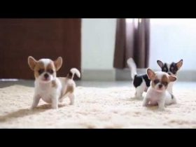 Chihuahua Dog Training - Mistakes To Avoid At All Costs 5