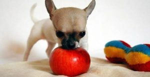 Chihuahua Dog Training - Mistakes To Avoid At All Costs 1