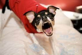 Chihuahua Dog Training - Mistakes To Avoid At All Costs 4