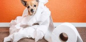 Chihuahua Dog Training - Mistakes To Avoid At All Costs