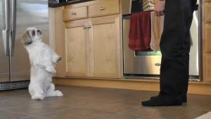 Shih Tzu Training to Walk on a Lead, Stop Biting and Reduce Barking 1