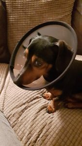 Dog Lampshade Collar Alternative: 6 Perfect Protectors for Your Dog 1
