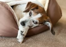 Best Dog Appeasing Pheromone Collar 100% Safe 20