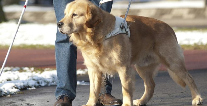 Best Guide Dog Harnesses and Training Accessories
