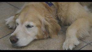 arthritis in Dogs: CBD Benefits
