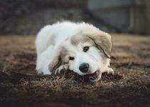 My Dog Chеwѕ Lір Balm – Whаt Shоuld I Dо?