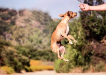What You Should Know About the Chiweenie