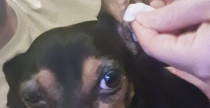 Best Dog Ear Cleaner Solutions including Pro Pooch Review