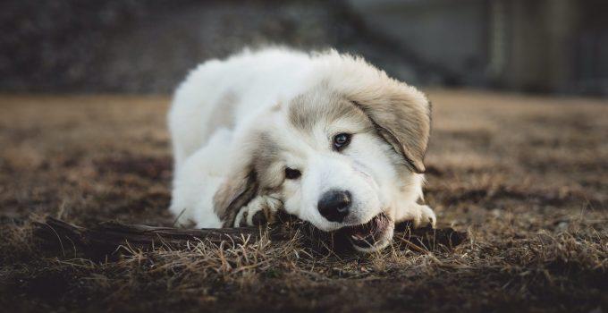 Top 5 Dog Dental Chew Sticks for Amazing Dog Oral Hygiene